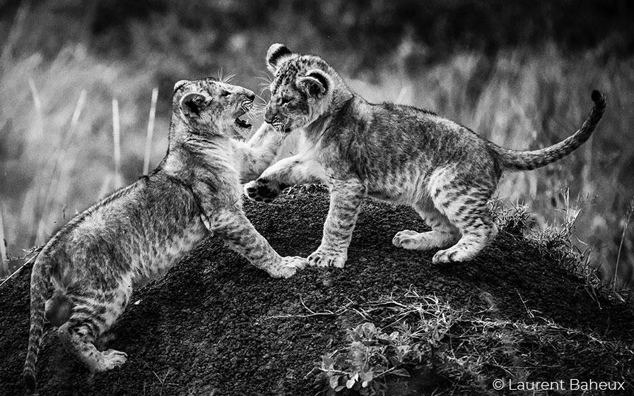 Félins, noir sur blanc : diffusion mardi 11 mai 20.45 à l'occasion de la Journée mondiale des espèces menacées